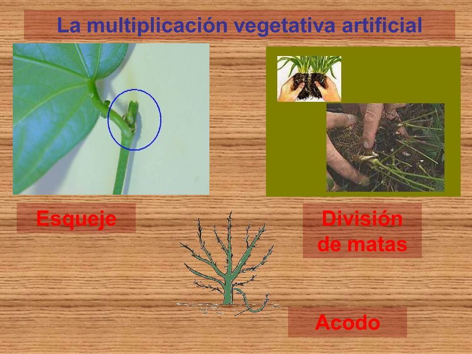 La multiplicación vegetativa artificial