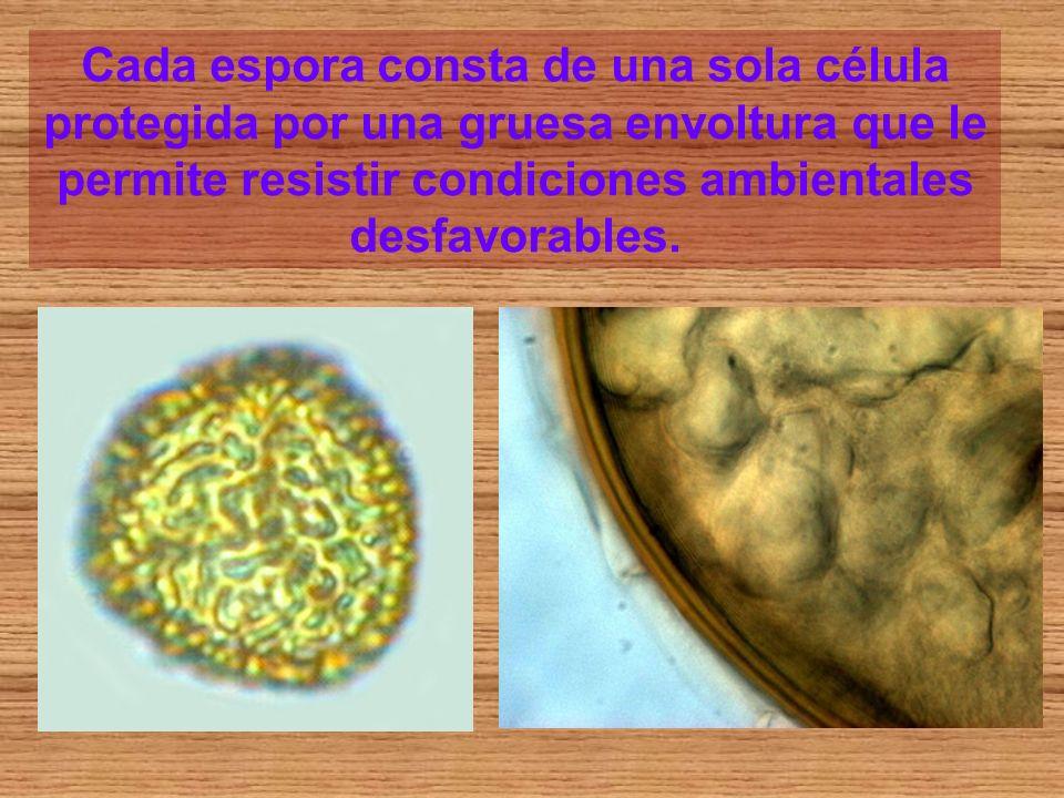 Cada espora consta de una sola célula protegida por una gruesa envoltura que le permite resistir condiciones ambientales desfavorables.