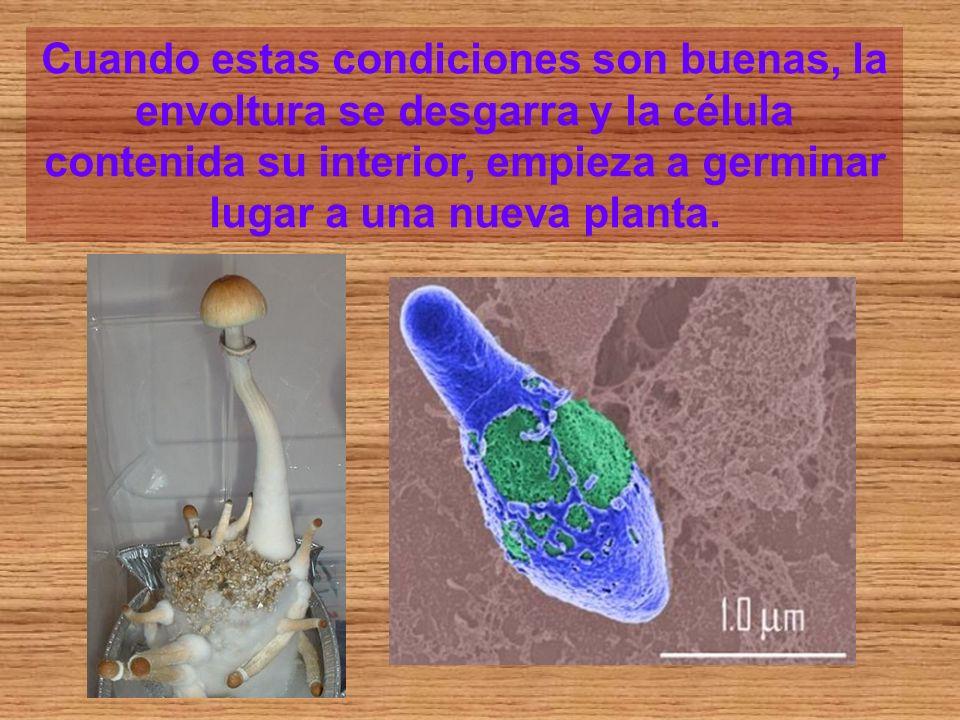 Cuando estas condiciones son buenas, la envoltura se desgarra y la célula contenida su interior, empieza a germinar lugar a una nueva planta.