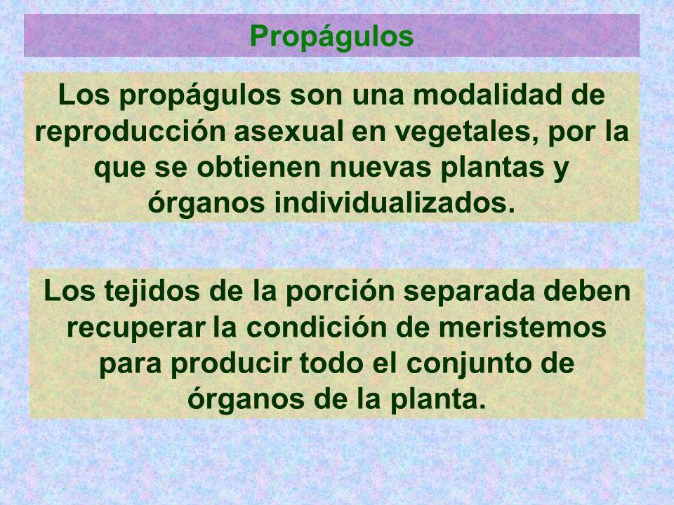 Propágulos Los propágulos son una modalidad de reproducción asexual en vegetales, por la que se obtienen nuevas plantas y órganos individualizados.