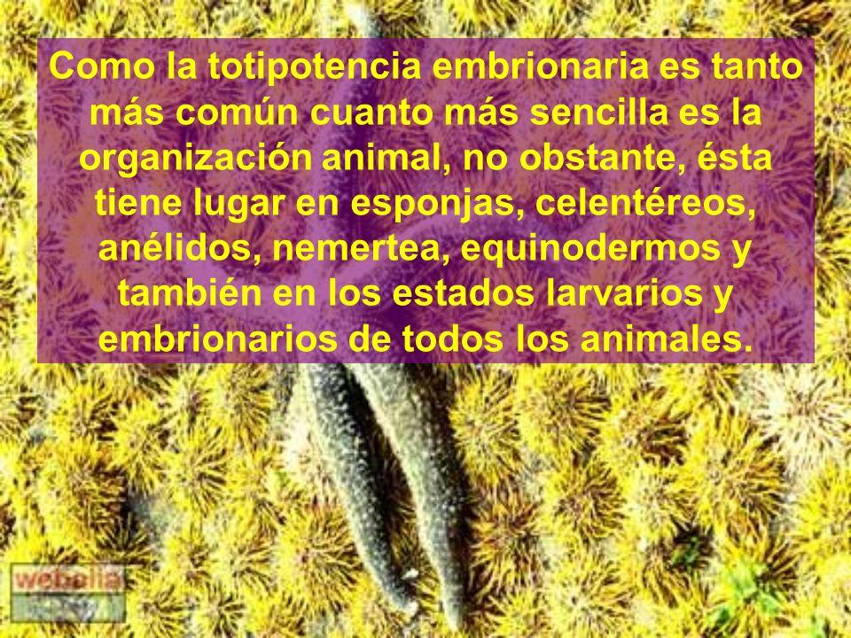 Como la totipotencia embrionaria es tanto más común cuanto más sencilla es la organización animal, no obstante, ésta tiene lugar en esponjas, celentéreos, anélidos, nemertea, equinodermos y también en los estados larvarios y embrionarios de todos los animales.