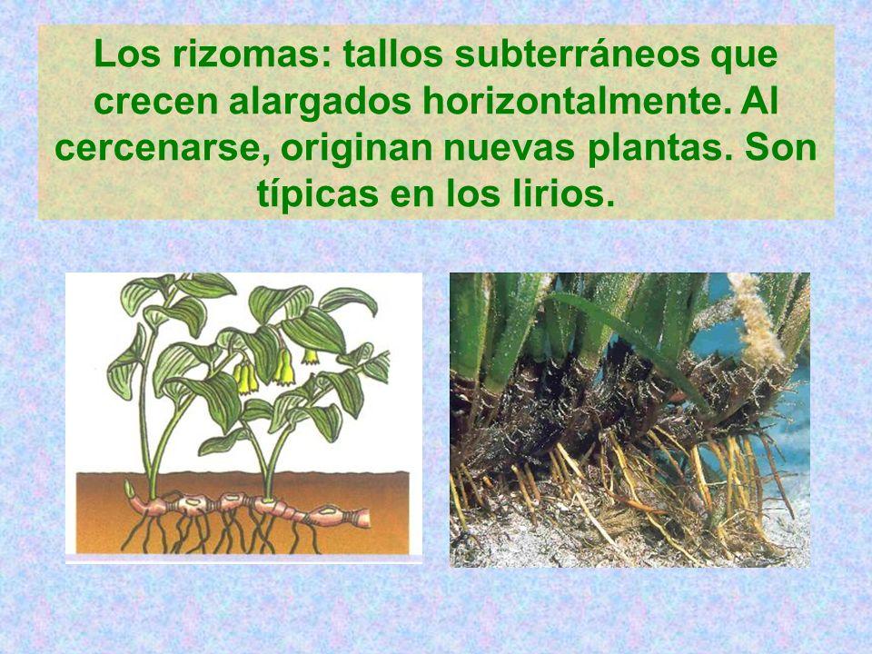 Los rizomas: tallos subterráneos que crecen alargados horizontalmente