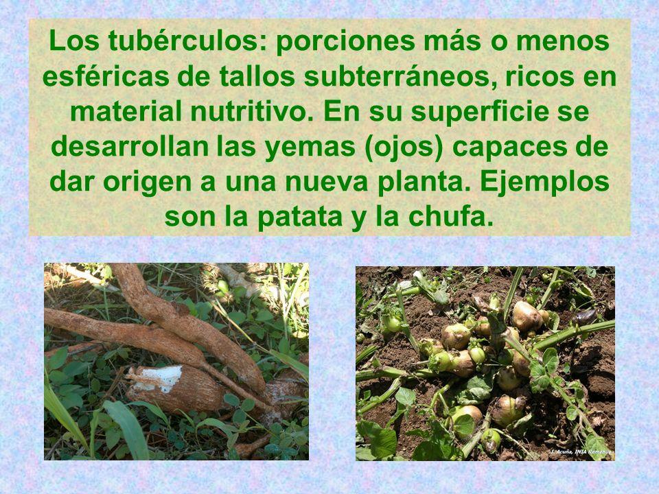 Los tubérculos: porciones más o menos esféricas de tallos subterráneos, ricos en material nutritivo.