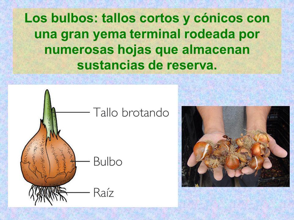 Los bulbos: tallos cortos y cónicos con una gran yema terminal rodeada por numerosas hojas que almacenan sustancias de reserva.