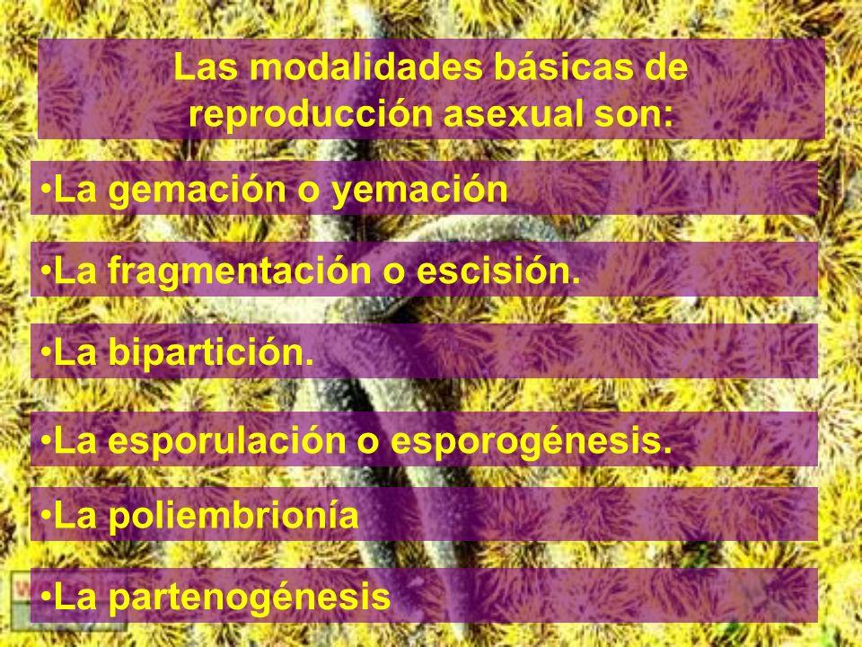Las modalidades básicas de reproducción asexual son: