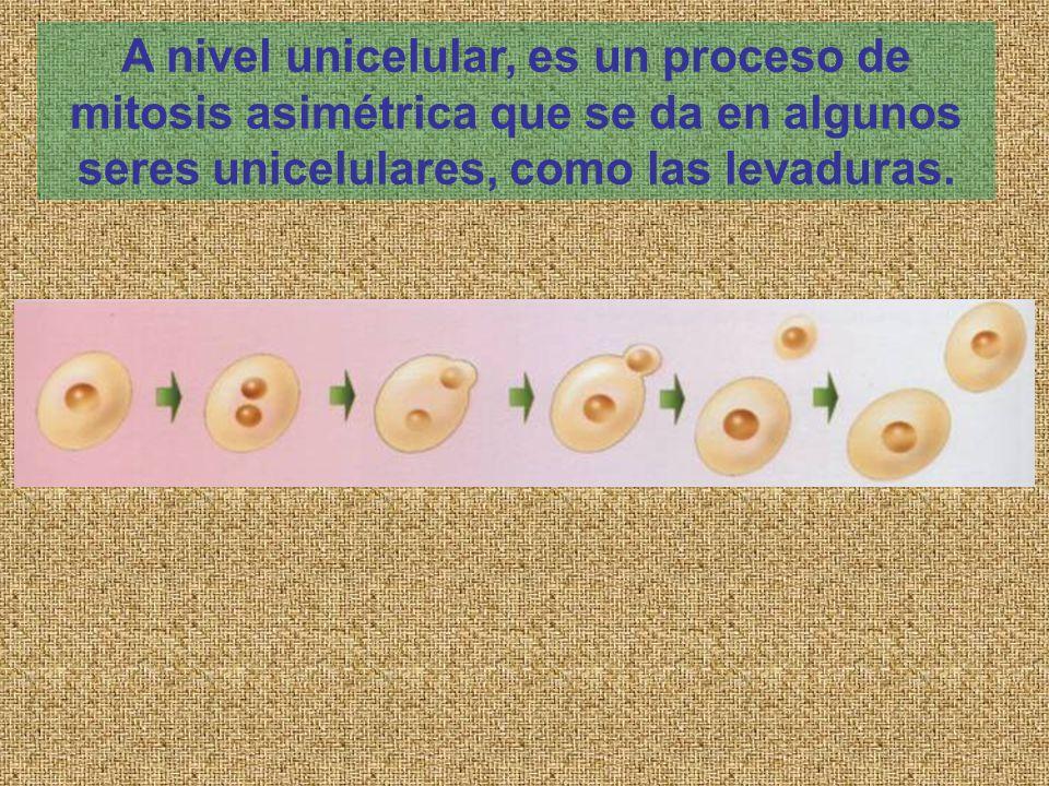 A nivel unicelular, es un proceso de mitosis asimétrica que se da en algunos seres unicelulares, como las levaduras.