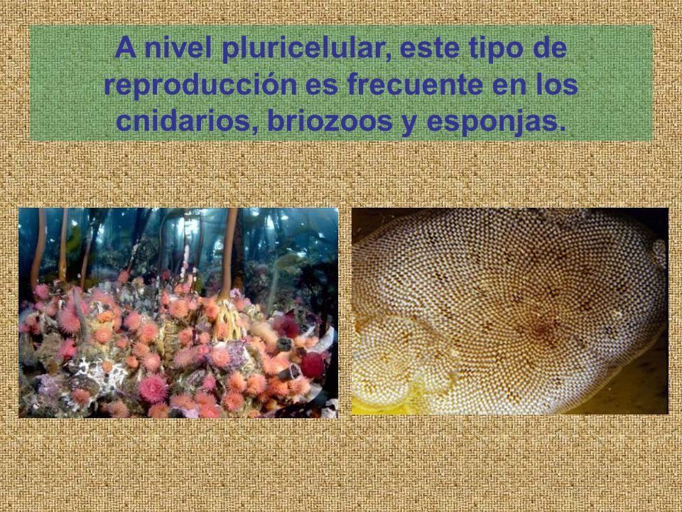 A nivel pluricelular, este tipo de reproducción es frecuente en los cnidarios, briozoos y esponjas.