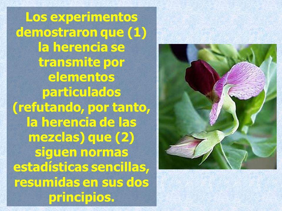 Los experimentos demostraron que (1) la herencia se transmite por elementos particulados (refutando, por tanto, la herencia de las mezclas) que (2) siguen normas estadísticas sencillas, resumidas en sus dos principios.