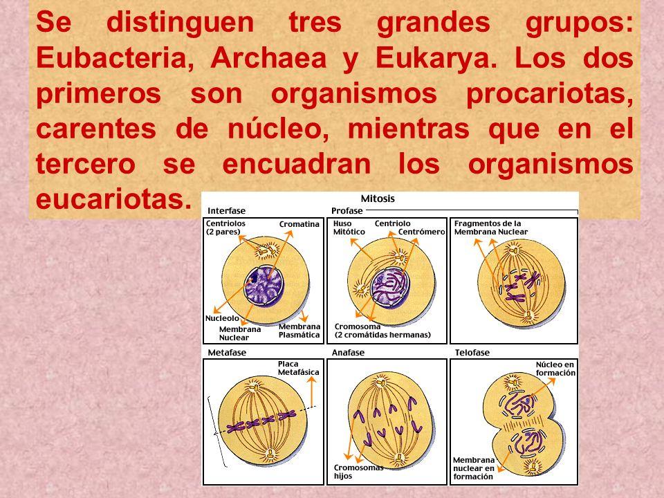 Se distinguen tres grandes grupos: Eubacteria, Archaea y Eukarya