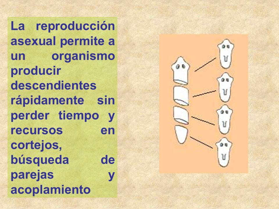 La reproducción asexual permite a un organismo producir descendientes rápidamente sin perder tiempo y recursos en cortejos, búsqueda de parejas y acoplamiento