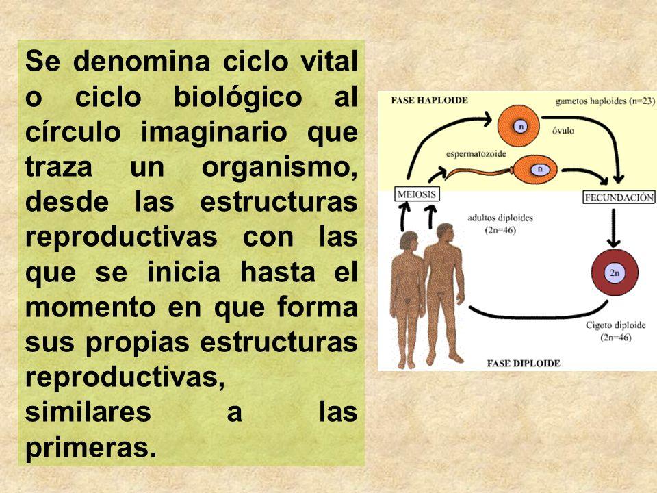 Se denomina ciclo vital o ciclo biológico al círculo imaginario que traza un organismo, desde las estructuras reproductivas con las que se inicia hasta el momento en que forma sus propias estructuras reproductivas, similares a las primeras.