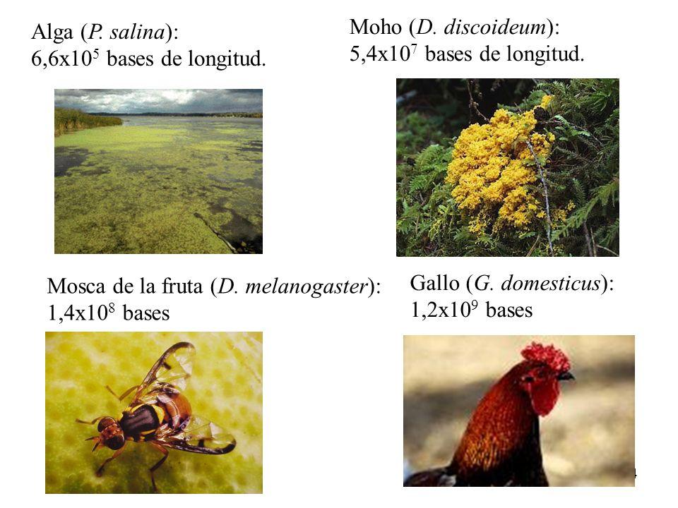Alga (P. salina): 6,6x105 bases de longitud. Moho (D. discoideum): 5,4x107 bases de longitud. Mosca de la fruta (D. melanogaster):
