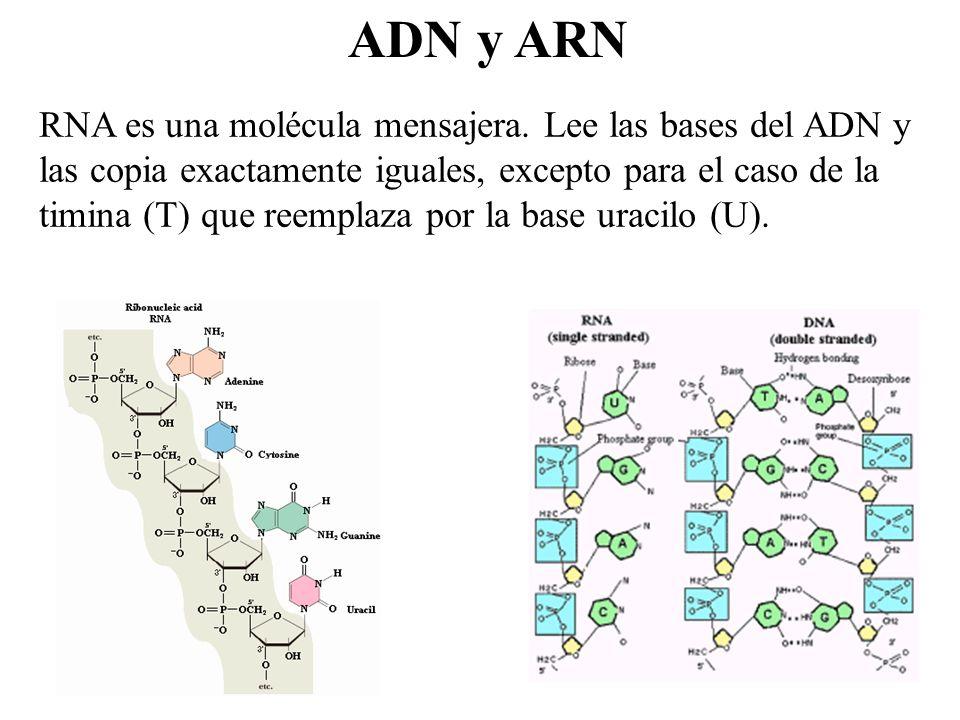 ADN y ARN RNA es una molécula mensajera. Lee las bases del ADN y