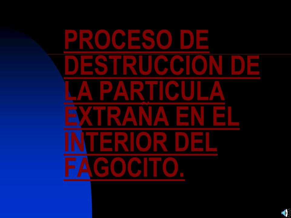 PROCESO DE DESTRUCCION DE LA PARTICULA EXTRAÑA EN EL INTERIOR DEL FAGOCITO.