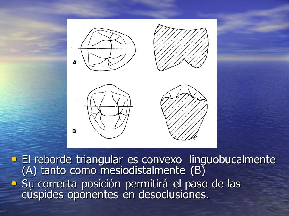 El reborde triangular es convexo linguobucalmente (A) tanto como mesiodistalmente (B)