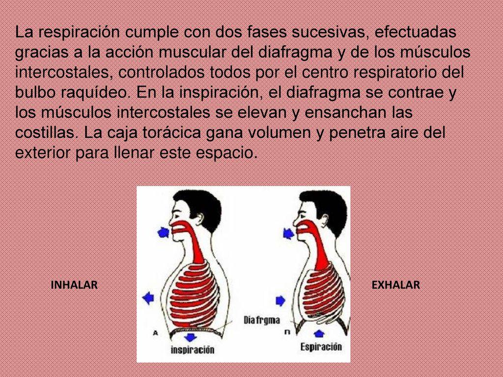 Magnífico Costilla Anatomía Muscular Imagen - Imágenes de Anatomía ...