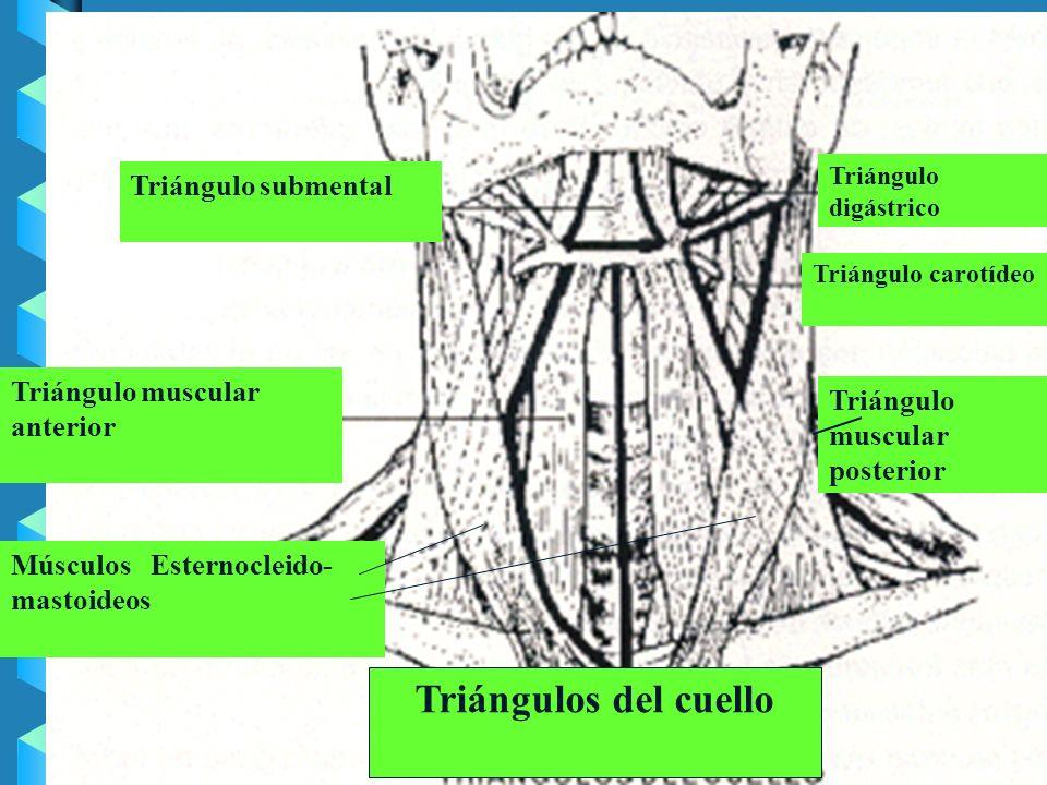 Triángulos del cuello Triángulo submental Triángulo muscular anterior