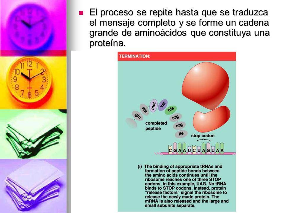 El proceso se repite hasta que se traduzca el mensaje completo y se forme un cadena grande de aminoácidos que constituya una proteína.