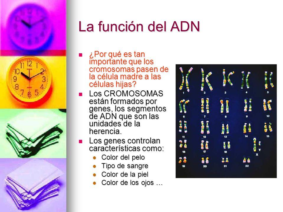 La función del ADN ¿Por qué es tan importante que los cromosomas pasen de la célula madre a las células hijas