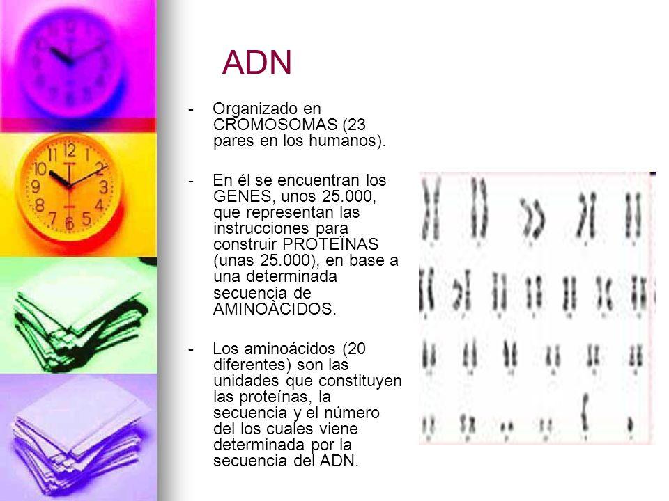 ADN - Organizado en CROMOSOMAS (23 pares en los humanos).