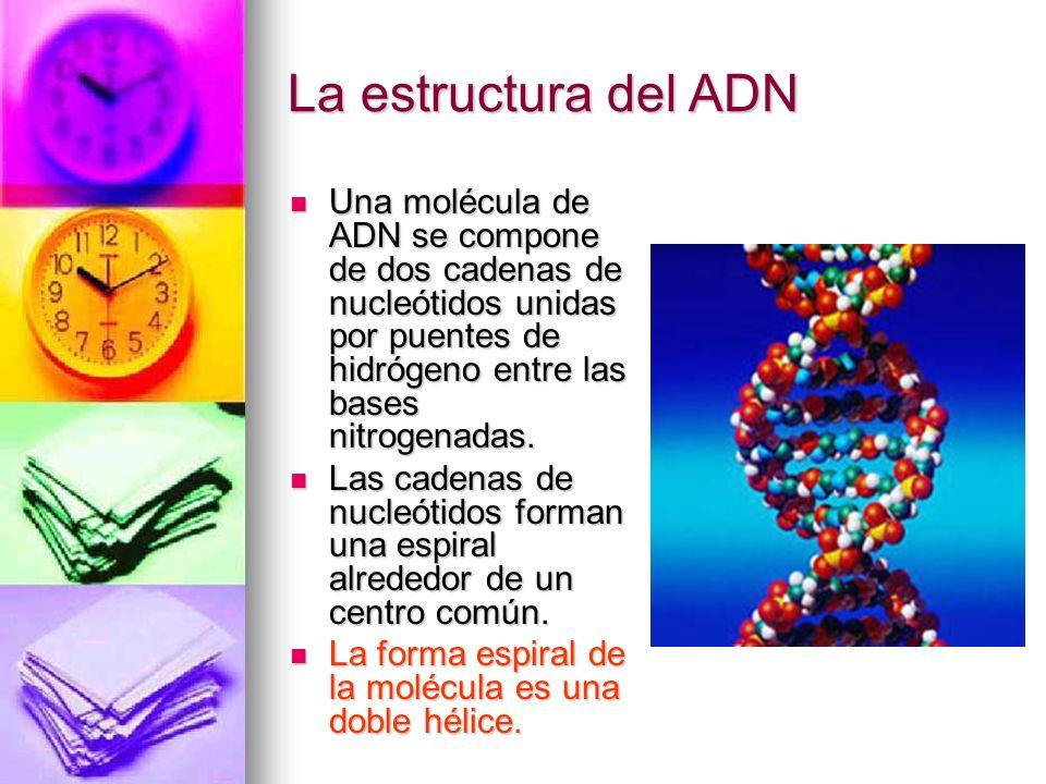 La estructura del ADN Una molécula de ADN se compone de dos cadenas de nucleótidos unidas por puentes de hidrógeno entre las bases nitrogenadas.