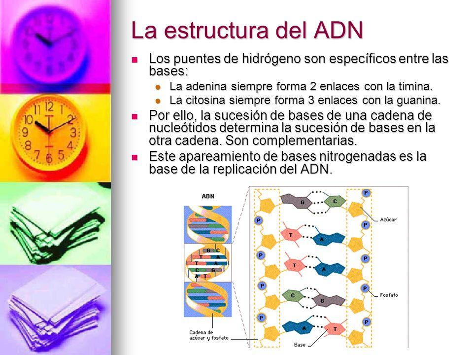 La estructura del ADN Los puentes de hidrógeno son específicos entre las bases: La adenina siempre forma 2 enlaces con la timina.