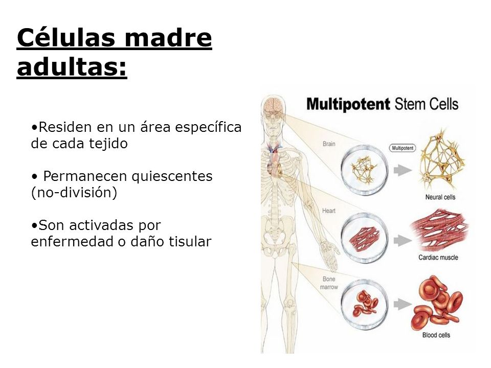 Células madre adultas: