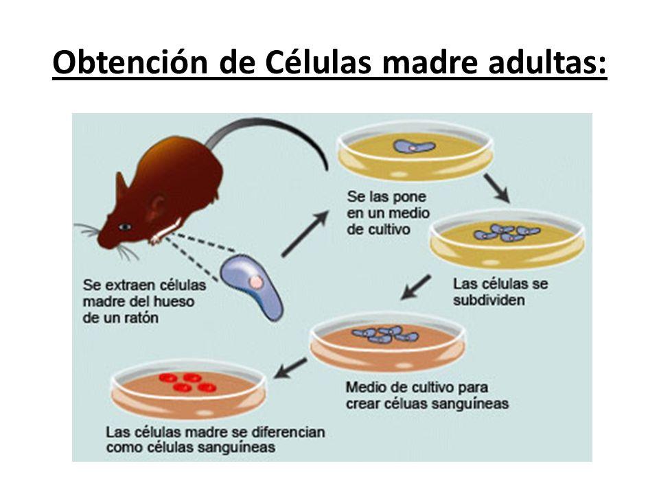 Obtención de Células madre adultas: