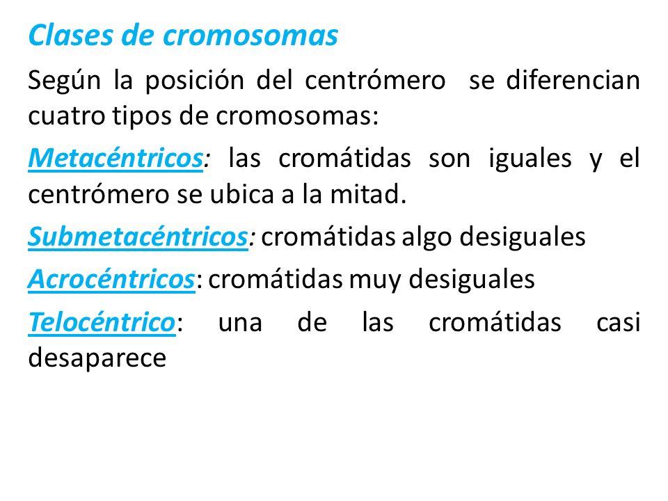 Clases de cromosomas Según la posición del centrómero se diferencian cuatro tipos de cromosomas: