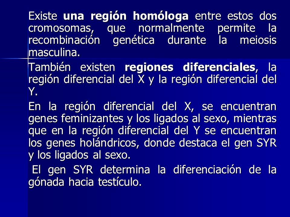 Existe una región homóloga entre estos dos cromosomas, que normalmente permite la recombinación genética durante la meiosis masculina.