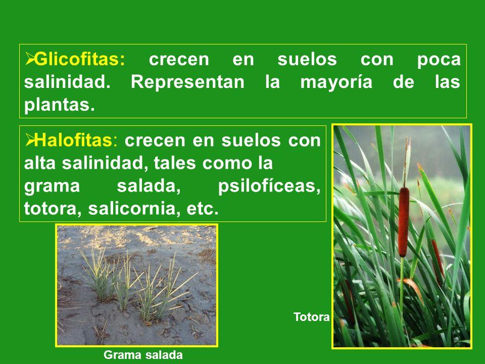 Halofitas: crecen en suelos con alta salinidad, tales como la