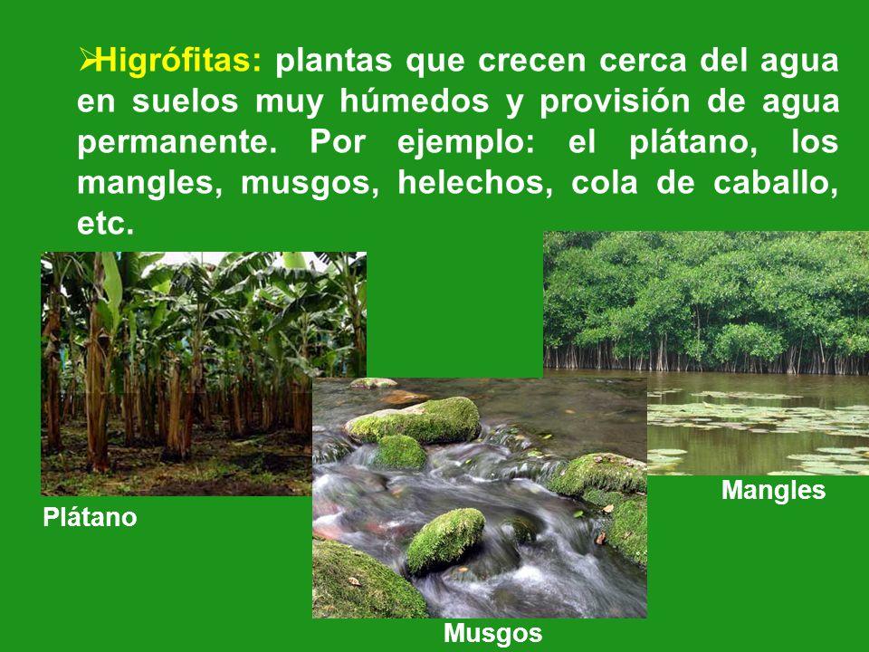 Higrófitas: plantas que crecen cerca del agua en suelos muy húmedos y provisión de agua permanente. Por ejemplo: el plátano, los mangles, musgos, helechos, cola de caballo, etc.
