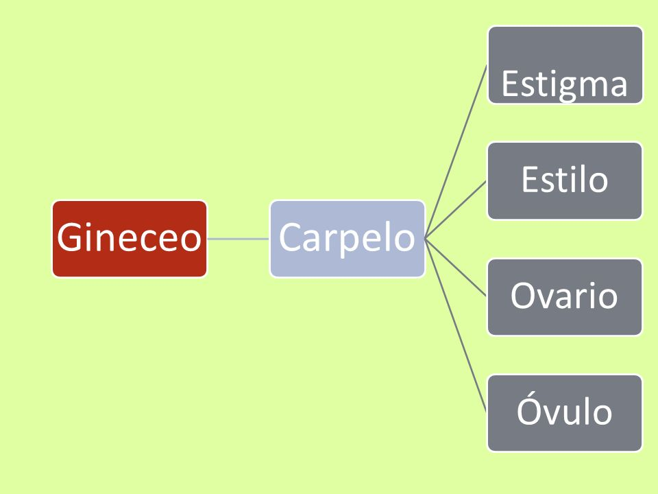 Gineceo Carpelo Estigma Estilo Ovario Óvulo