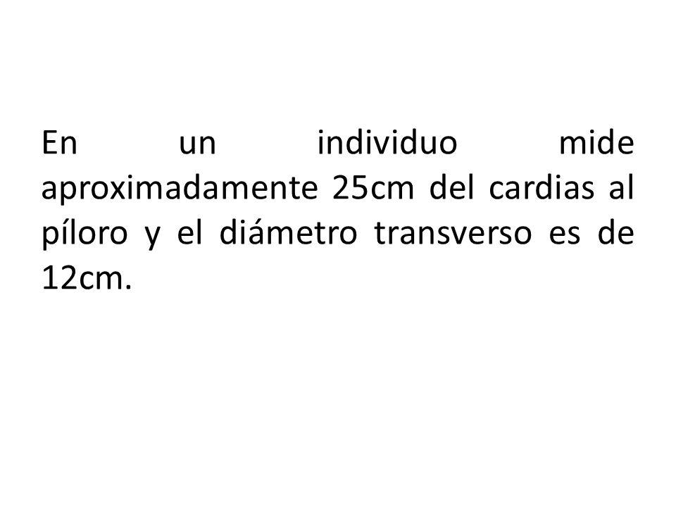 En un individuo mide aproximadamente 25cm del cardias al píloro y el diámetro transverso es de 12cm.
