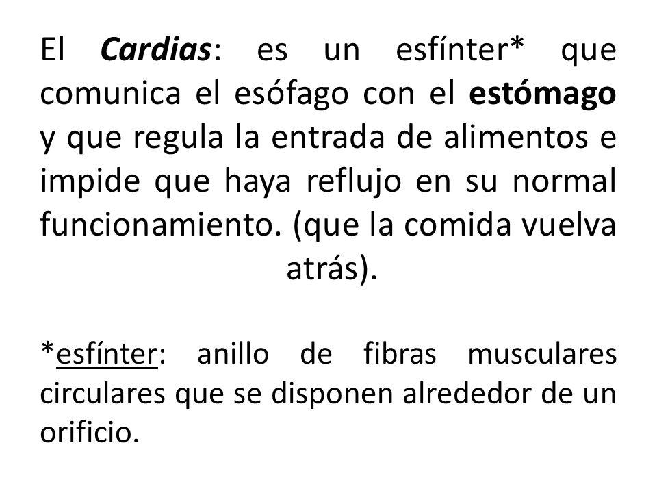 El Cardias: es un esfínter