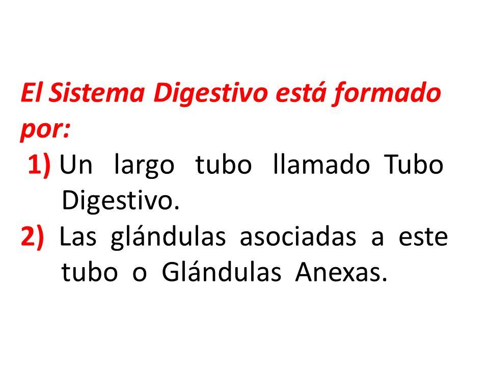 El Sistema Digestivo está formado por: 1) Un largo tubo llamado Tubo Digestivo.