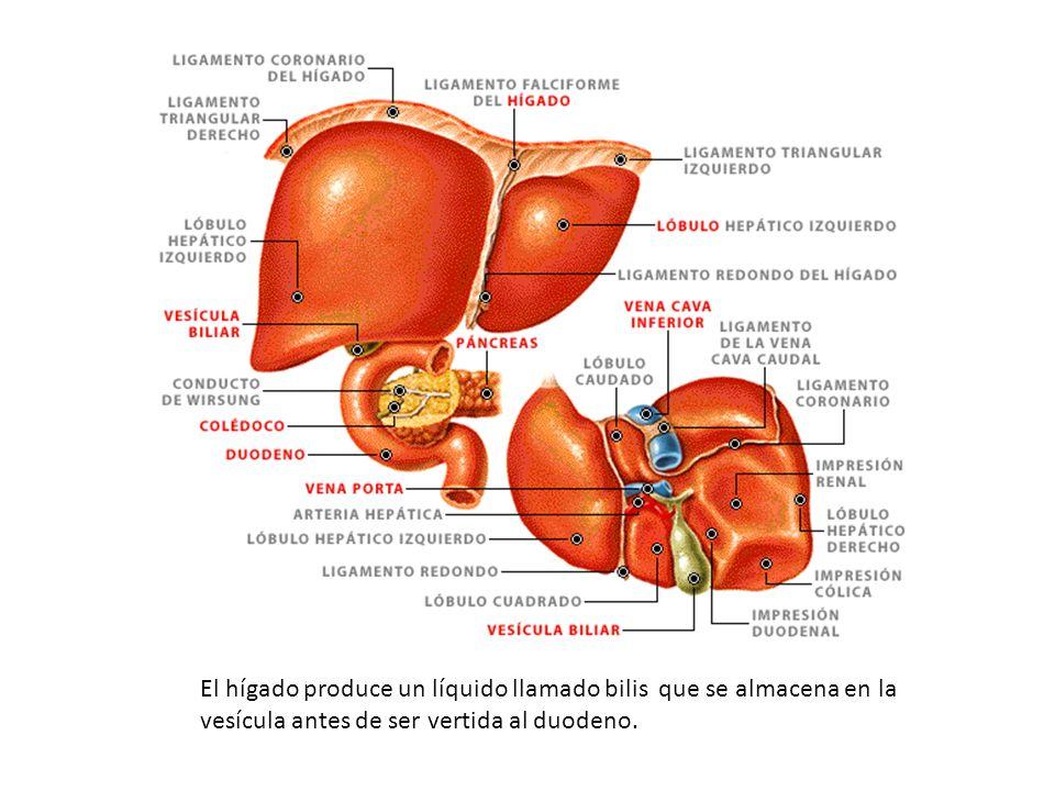 El hígado produce un líquido llamado bilis que se almacena en la vesícula antes de ser vertida al duodeno.