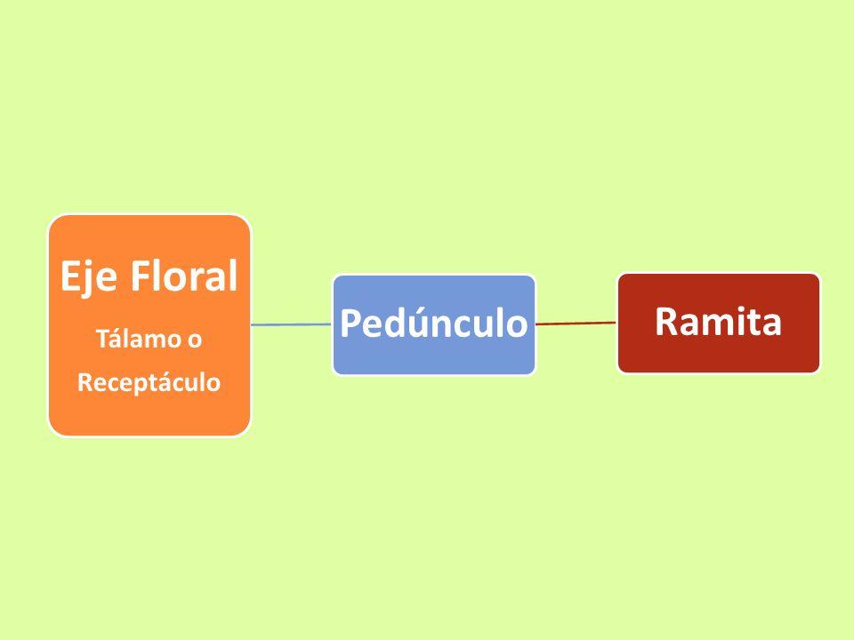 Eje Floral Tálamo o Receptáculo Pedúnculo Ramita