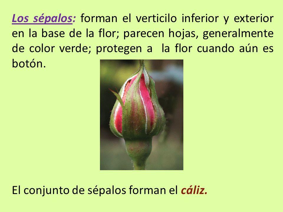 Los sépalos: forman el verticilo inferior y exterior en la base de la flor; parecen hojas, generalmente de color verde; protegen a la flor cuando aún es botón.