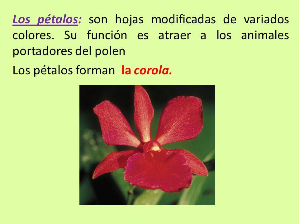 Los pétalos: son hojas modificadas de variados colores