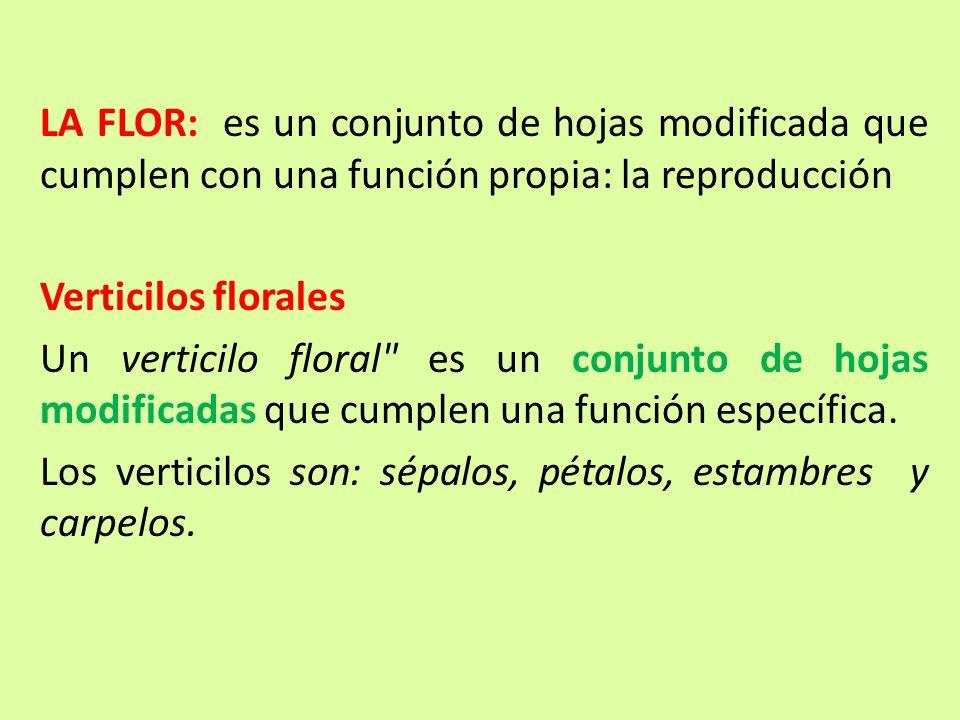 LA FLOR: es un conjunto de hojas modificada que cumplen con una función propia: la reproducción