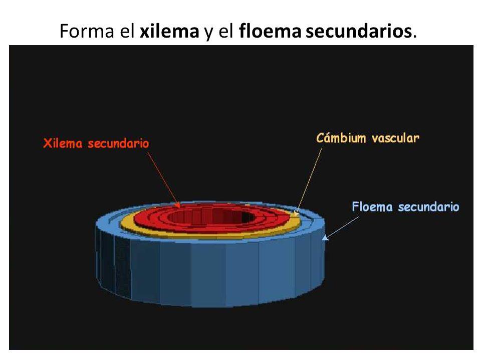Forma el xilema y el floema secundarios.