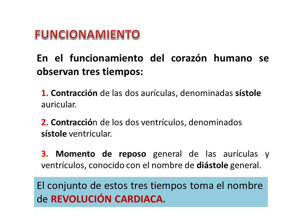FUNCIONAMIENTO En el funcionamiento del corazón humano se observan tres tiempos: 1. Contracción de las dos aurículas, denominadas sístole auricular.