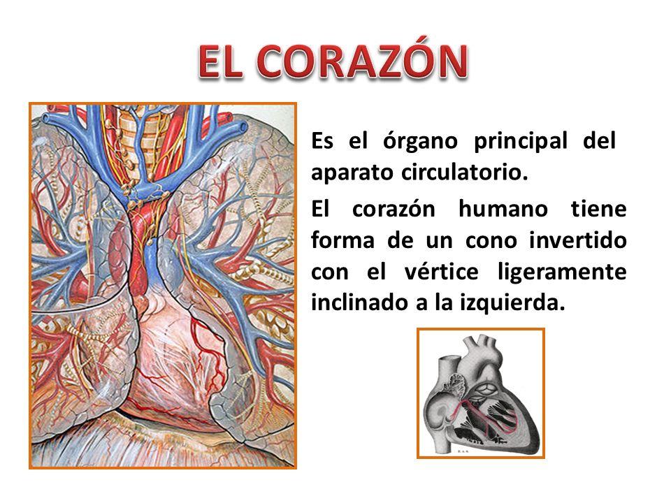 EL CORAZÓN Es el órgano principal del aparato circulatorio.