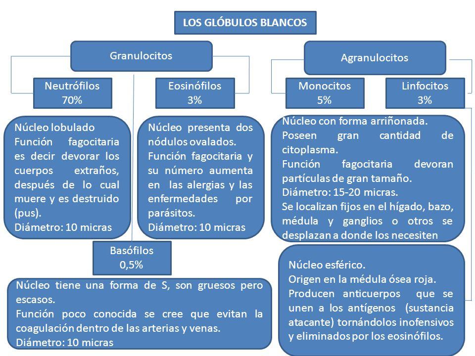 LOS GLÓBULOS BLANCOS Granulocitos. Agranulocitos. Neutrófilos 70% Eosinófilos. 3% Monocitos. 5%