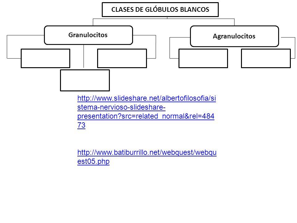 CLASES DE GLÓBULOS BLANCOS