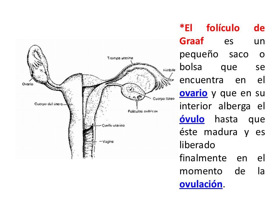 *El folículo de Graaf es un pequeño saco o bolsa que se encuentra en el ovario y que en su interior alberga el óvulo hasta que éste madura y es liberado finalmente en el momento de la ovulación.