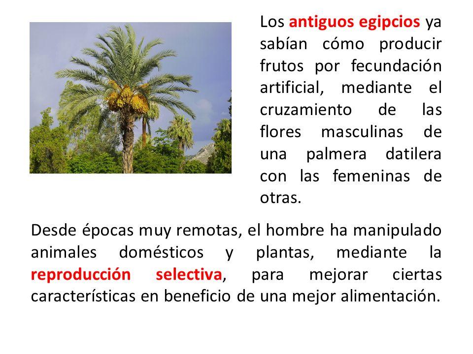 Los antiguos egipcios ya sabían cómo producir frutos por fecundación artificial, mediante el cruzamiento de las flores masculinas de una palmera datilera con las femeninas de otras.