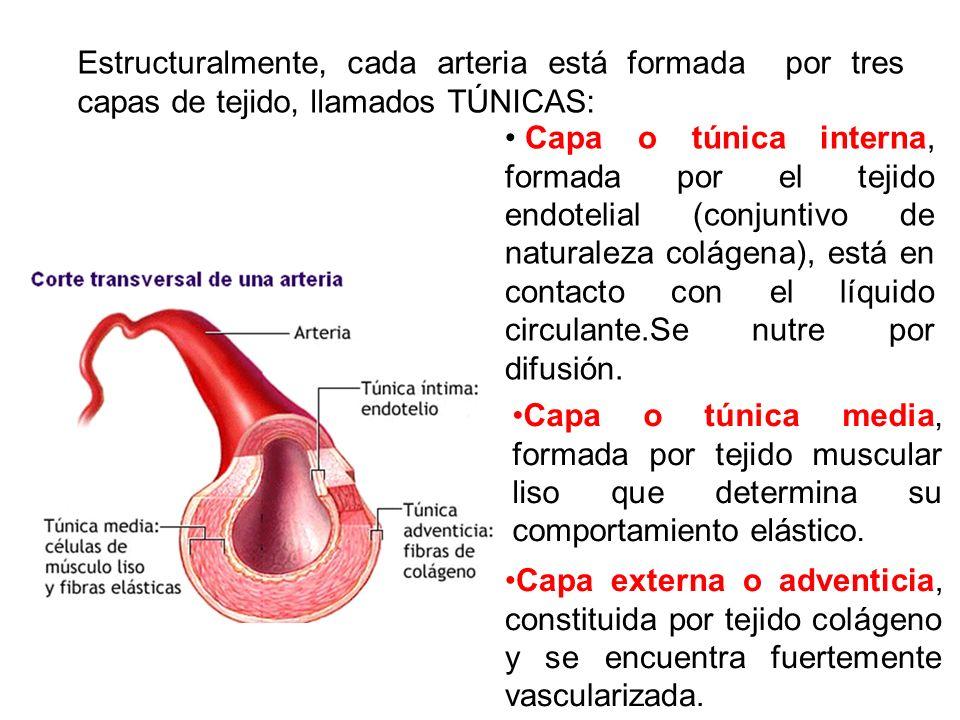 Estructuralmente, cada arteria está formada por tres capas de tejido, llamados TÚNICAS: