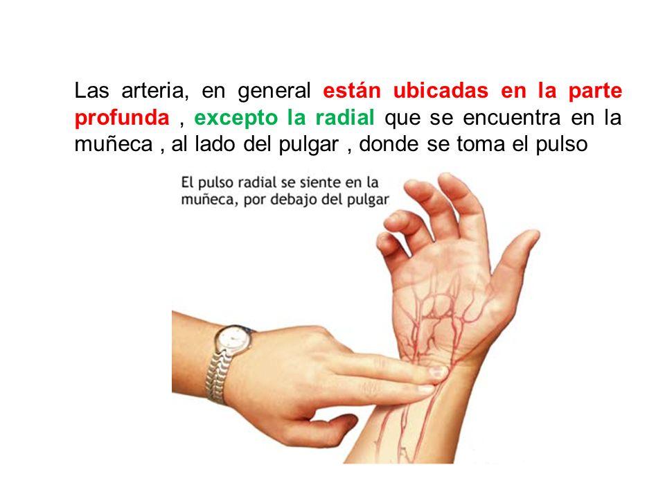Las arteria, en general están ubicadas en la parte profunda , excepto la radial que se encuentra en la muñeca , al lado del pulgar , donde se toma el pulso